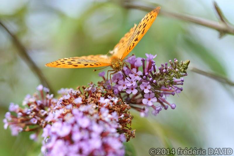 nature macro insecte papillon tabac d'Espagne Sorques Seine-et-Marne