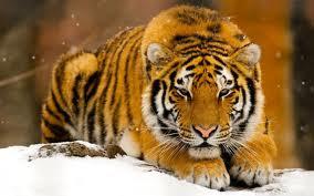Foto Harimau Siberia
