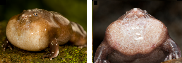 Dorsolateral and frontal view of a male purple frog