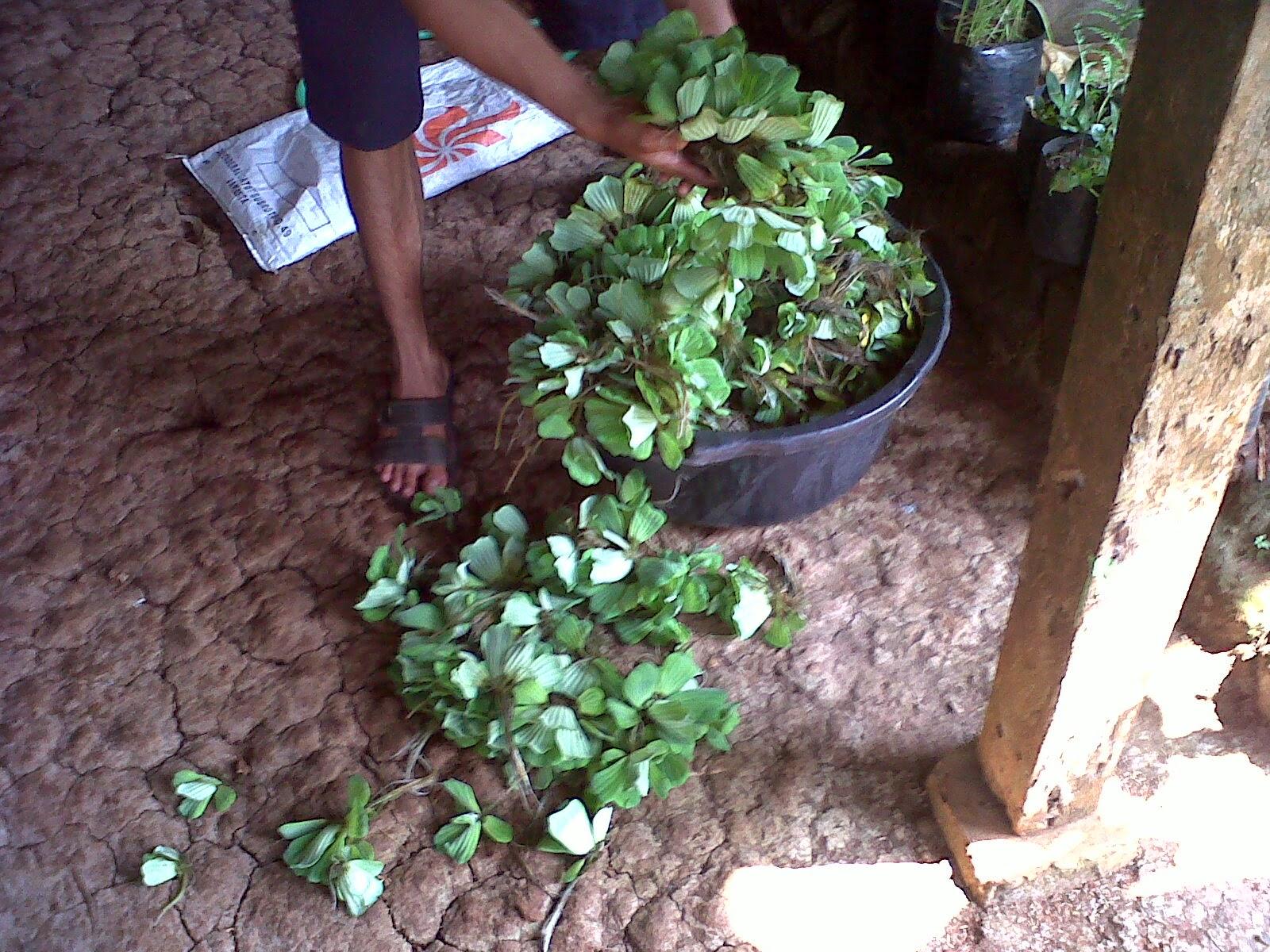 Tanaman Air Kapu-Kapu (Apu-Apu) | Suplier Tanaman Hias | Jasa Tukang Taman
