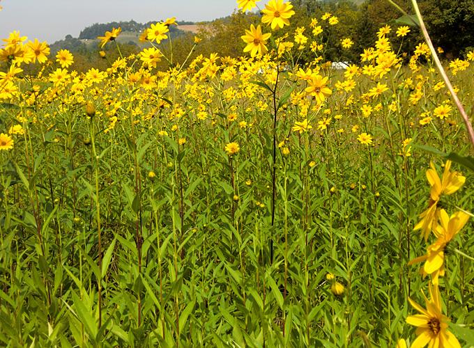 Hortus italicus helianthus tuberosus for Radici commestibili