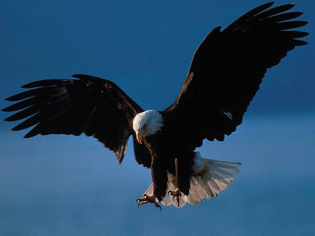 foto burung elang