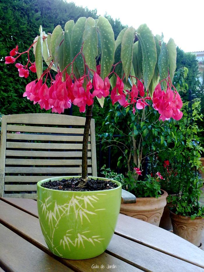 Begonia bambú