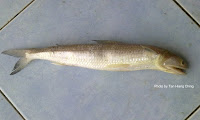 Greater Lizardfish