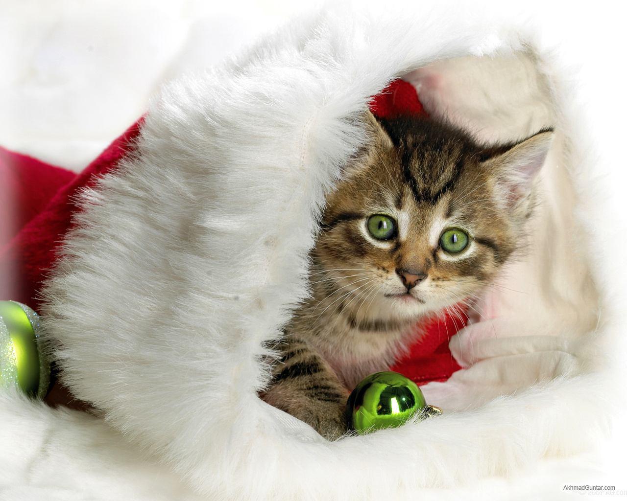 http://4.bp.blogspot.com/-NqaXXaaODy4/TdXtknb4laI/AAAAAAAAAAU/l4ZGwp4oJUk/s1600/Kucing+Guntar+%252833%2529.jpg
