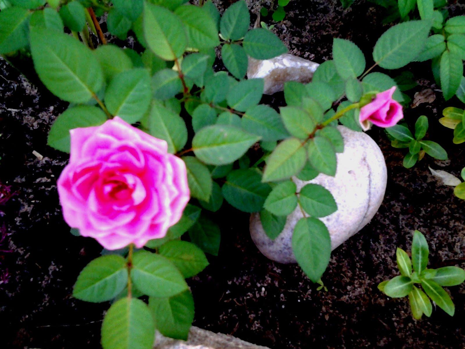 Rosas pequenas