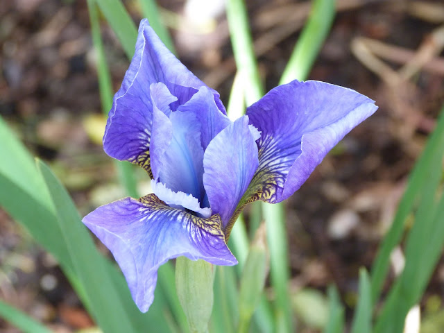 Iris 'Shirley Pope'