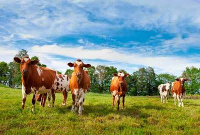 Ayrshire cows at Jasper Hill Farm