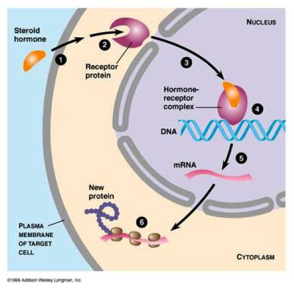 prednisolone steroids for chest infection