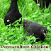 Permaculture Chicken: Pasture Basics - Free Kindle Non-Fiction