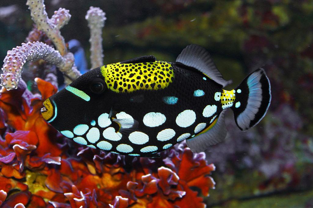 Balistoides%252Bconspicillum The clown triggerfish