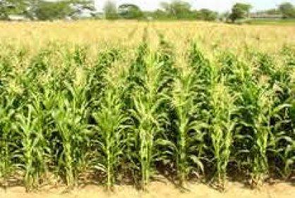 El mote preparado por mi abuelita cultivo de maiz en nari o for Sembrar maiz y frijol juntos