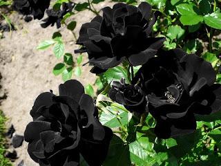 zbudim se s krikom │ samo ne nazaj prosim │ cvetovi na rožah so črni