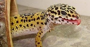 The Gecko Zone The Leopard Gecko