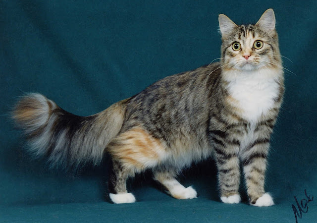 Maine Coon Cats Pets Cute And Docile