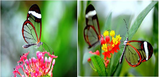 Kupu-kupu unik bersayap transparan