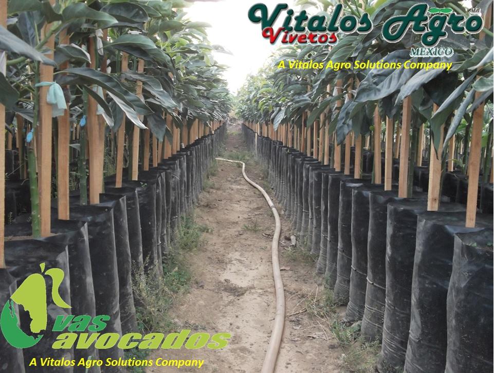 El aguacatero plagas y enfermedades plantas de aguacate for Viveros en jalisco