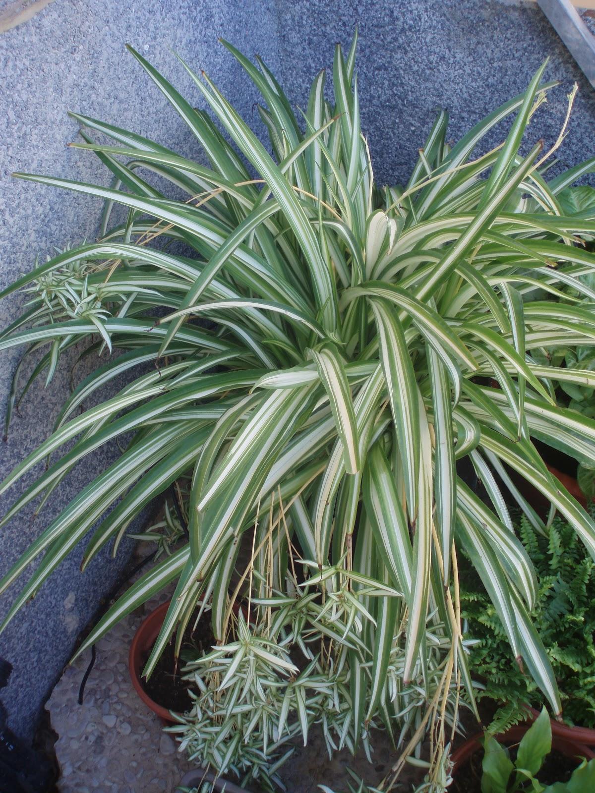 Crear un jard n cinta cholorophytum comosum - Como cuidar las plantas de exterior ...