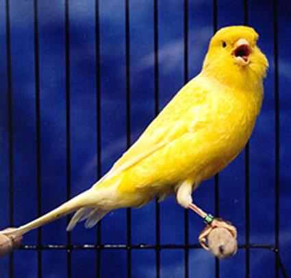 foto burung kenari gambar hewan