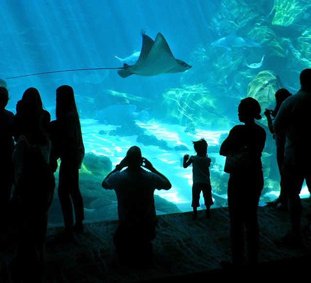 Swim with Gentle Giants, Rays, Georgia Aquarium