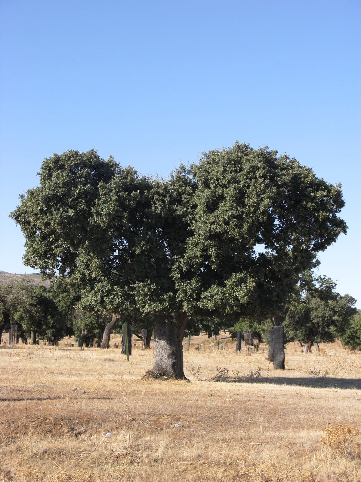 Quercus suber  Wikimedia Commons