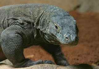 komodo island is the new 7 wonders of the world, komodo.me, kontes seo
