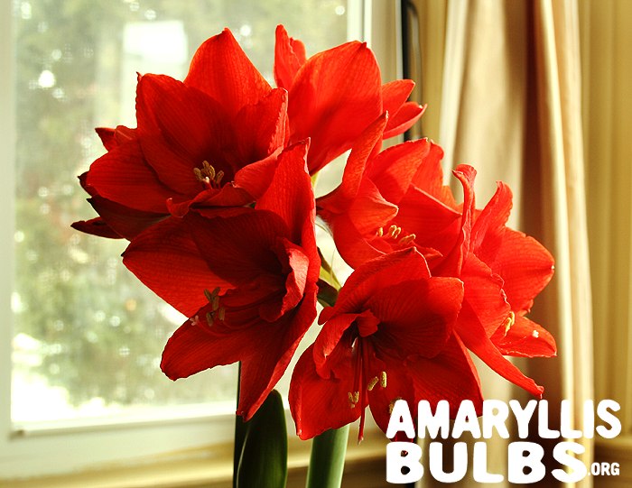 Amaryllis Bulb Care After Blooming