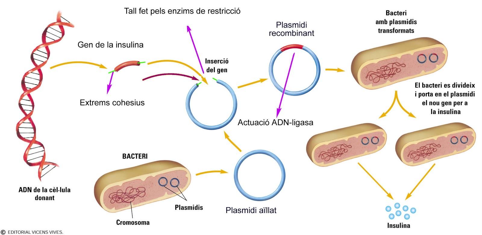 DIABETES MELLITUS TIPO 2: ADN RECOMBINANTE EN DIABETES