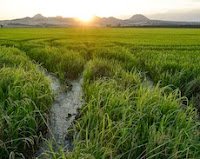 Endangered Species Bulletin a win for California Rice Growers