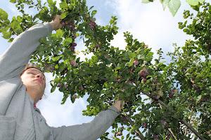 Tilaa sinäkin joulahjaideana: Kriikunapuun sadonkorjuuta puutarhapalvelu Tampere