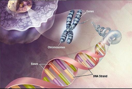 sintez-dnk-spermatozoidov