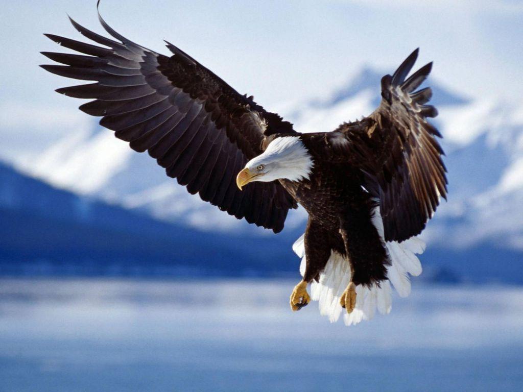 http://4.bp.blogspot.com/-NuFtuinxRRs/T8csN0d2lqI/AAAAAAAAEE8/YnUKaQyRkGI/s1600/Bald+Eagle+Wallpaper.jpeg