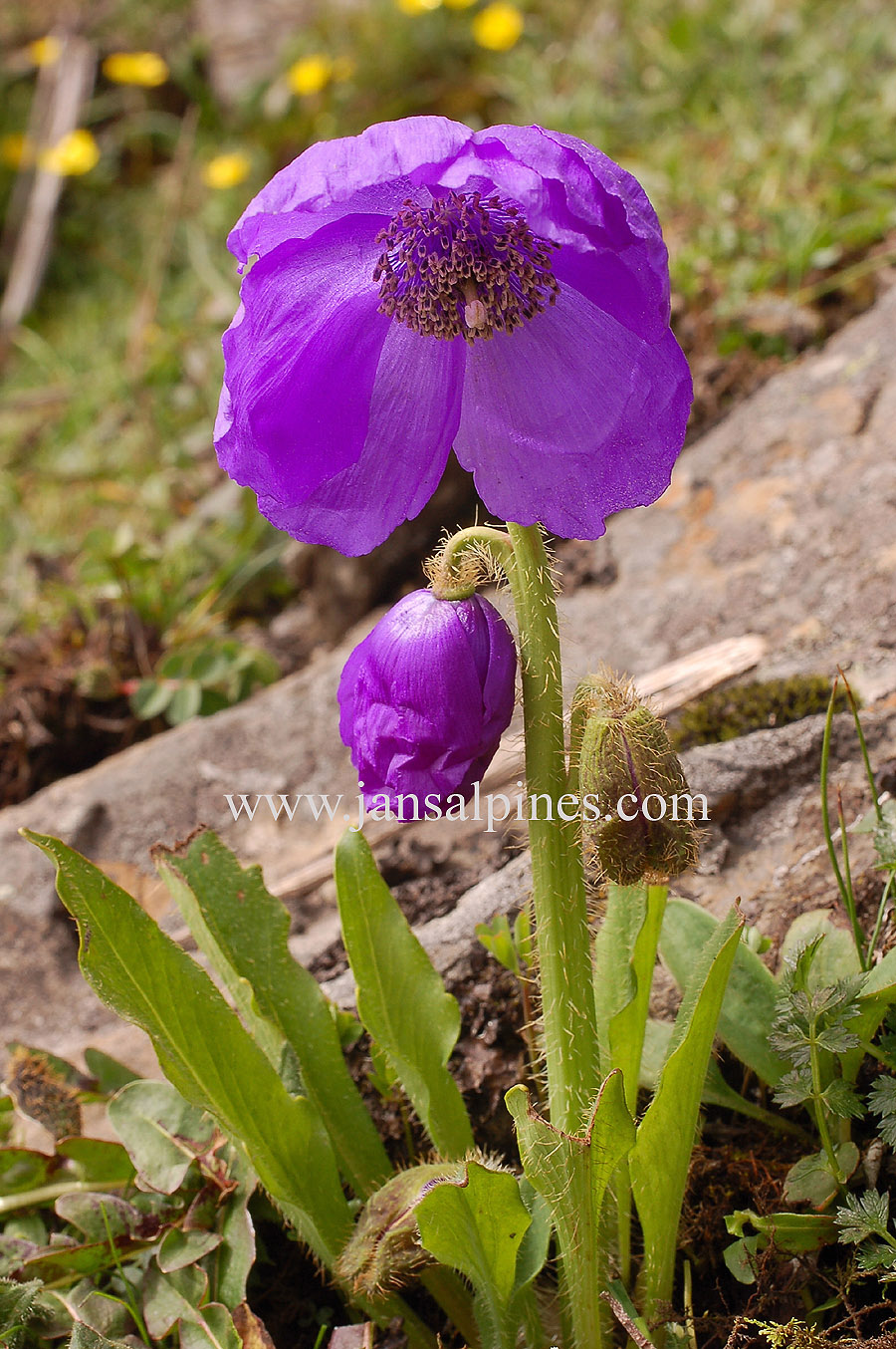 Meconopsis World A Visual Reference Purple Flowers