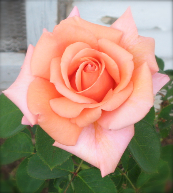 ... : From the garden... a perfect peach rose for Creative Weekends #6