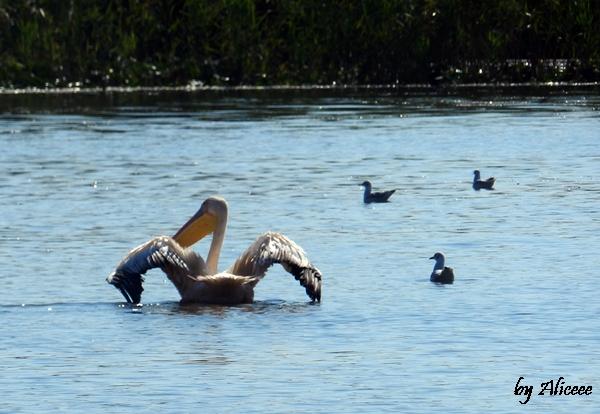 pelicani-pasare-mare-delta