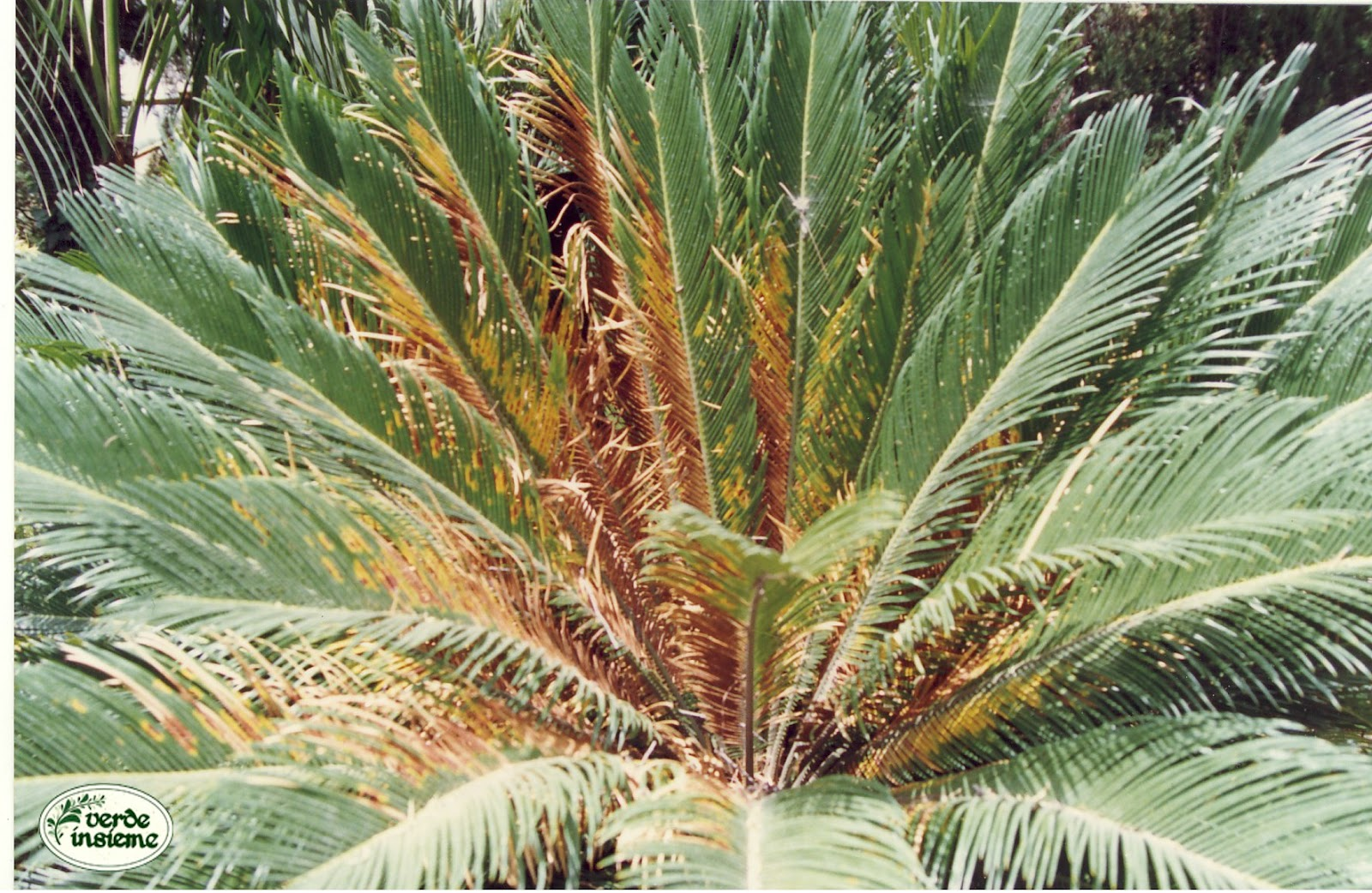 Cycas revoluta o palma del sag - Radici palma ...