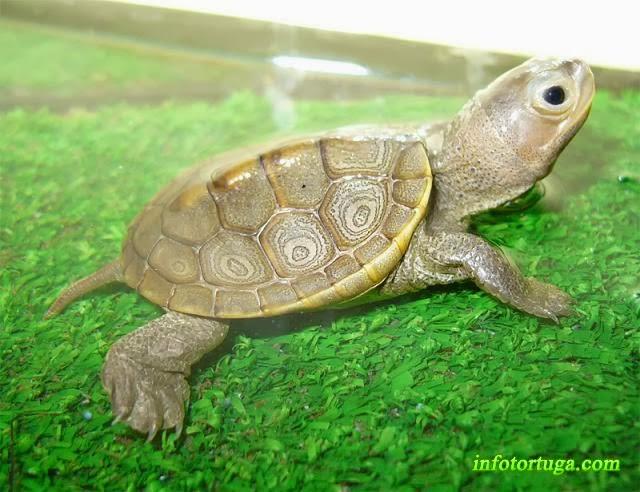 Malaclemys terrapin - Tortuga de dorso diamantino