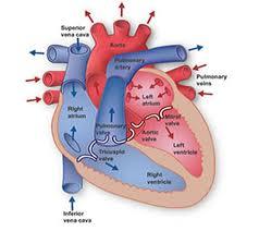 obat tradisional lemah jantung