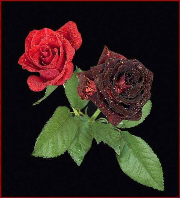 nice red rose wallpaper