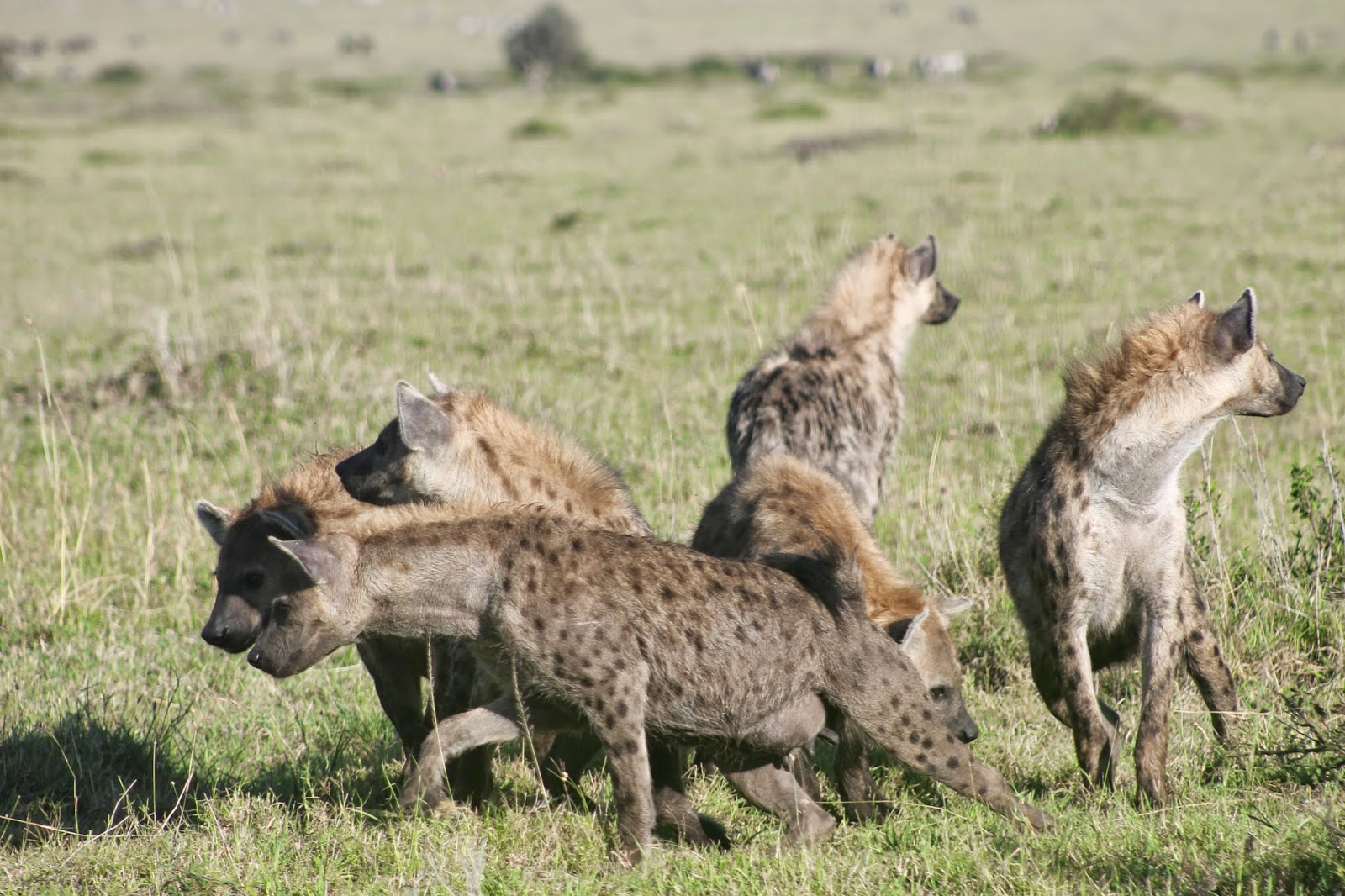 Hyena Offspring Notes From Kenya: MSU ...
