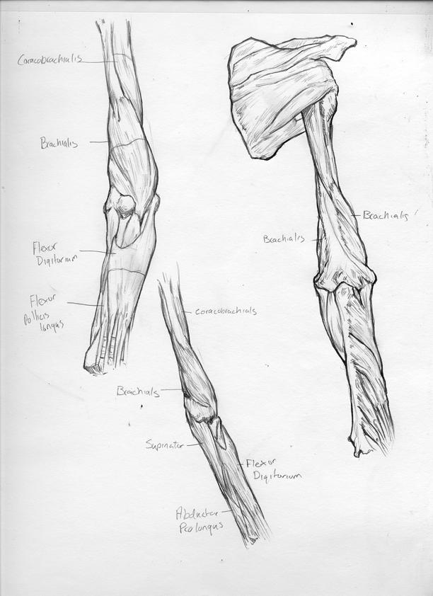Matt\'s Art Blog: Arm Anatomy Sketches