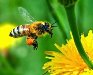 Fakta Lebah dan Madu dalam Al-Qur'an