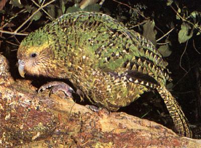 鴞鸚鵡 kakapo