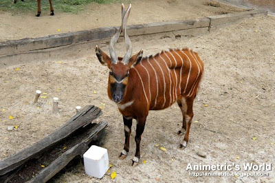 Bongo at the Los Angeles Zoo