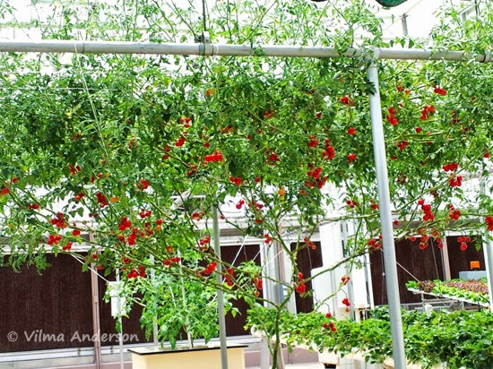Tomato plant growing via hydroponics at Epcot, Disney World