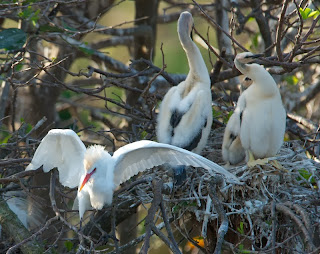 cattle Egrets and young Anhingas