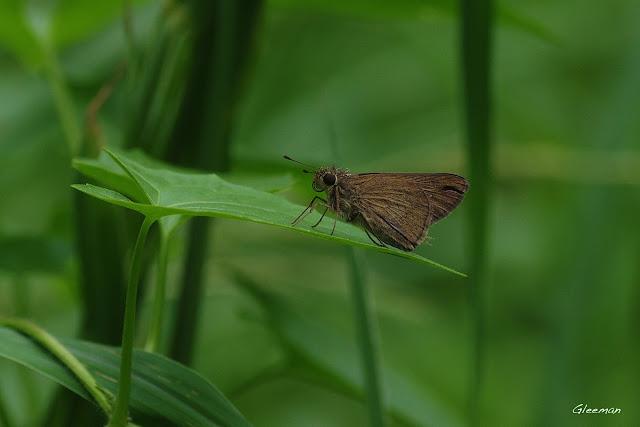 雞南山散步,褐弄蝶(?)