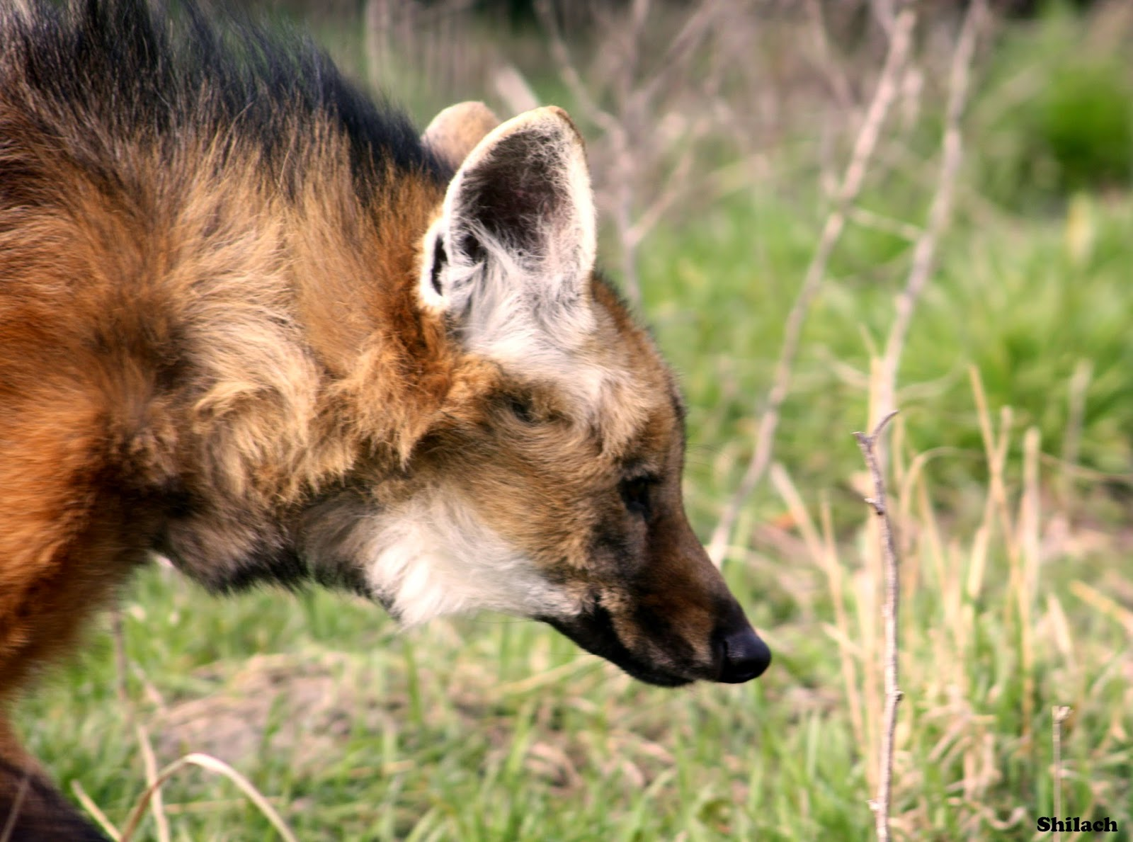 white wolf   stunning photos showcase a truly unique animal   maned wolves