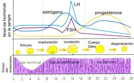 ciclo+menstrual+28+dias.+eval.jpg