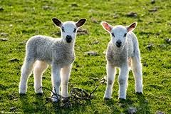 Lambs in NZ springtime